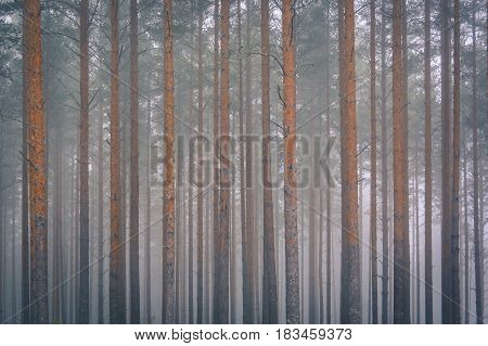 2D forest background on morning mist. Dreamy scene