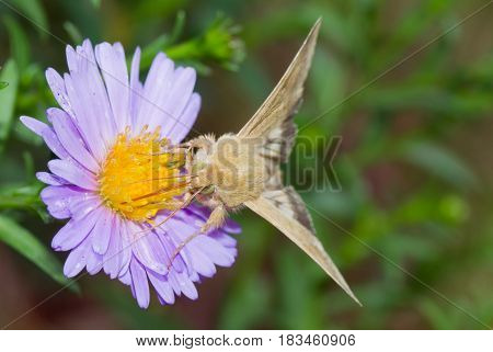 Moth sucking nectar on a nice flower.