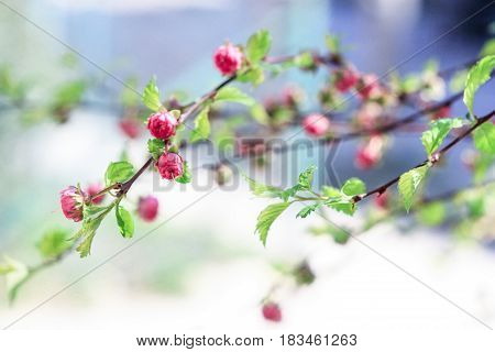 Pink buds of small flowers on a blue background