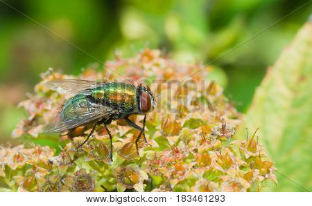 Beautiful species of green fly insect on on a brown plant in a garden.