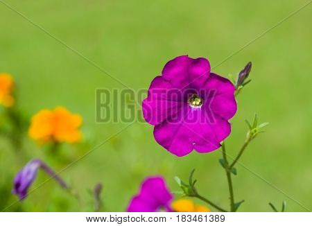 Beautiful petunia flower on a green natural background.
