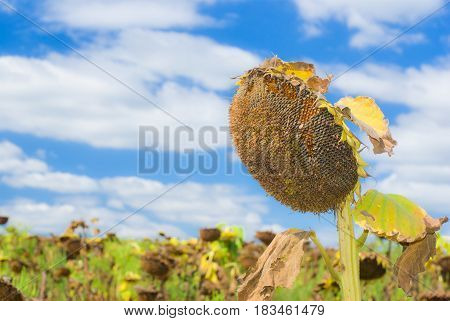 Beautiful ripe sunflower against blue cloudy sky.