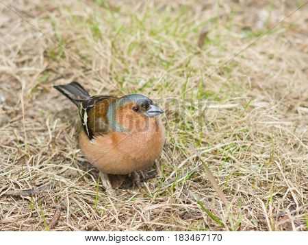 Male Common Chaffinch Fringilla coelebs searching for food close-up portrait in dry grass selective focus shallow DOF.