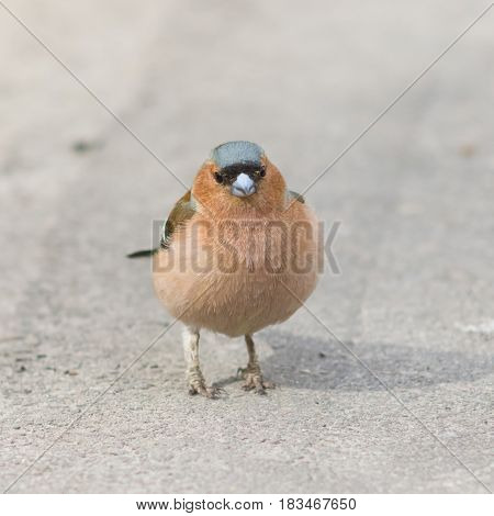 Male Common Chaffinch Fringilla coelebs close-up portrait on road selective focus shallow DOF.