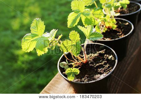 Pots with young strawberry plants ready for the garden.. Green background .