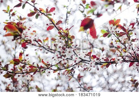 White flowers with burgundy leaves on a tree on a white background