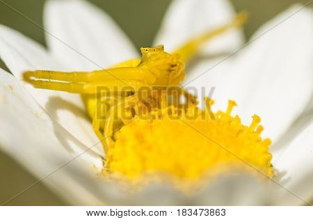 Yellow crab spider in hunting pose on daisy flower.