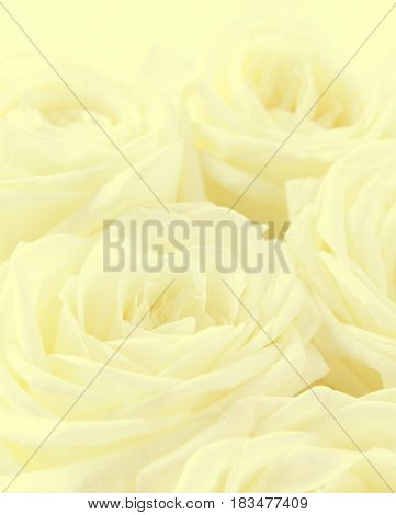 Beautiful toned white roses can use as wedding background. Soft focus