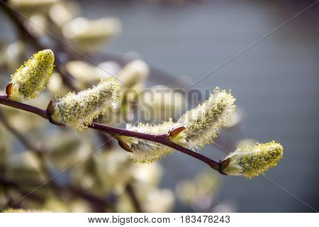 close-up of the blossoming catkins of willow