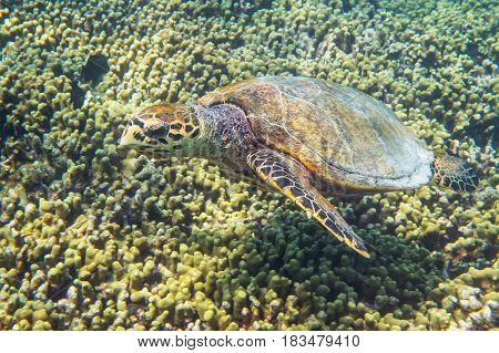 Sea turtle swimmming around the coral reef