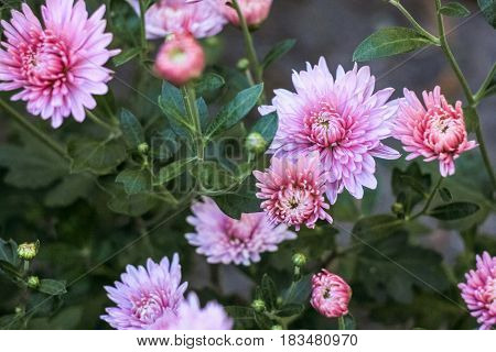 Flowers of light pink chrysanthemums on a green background