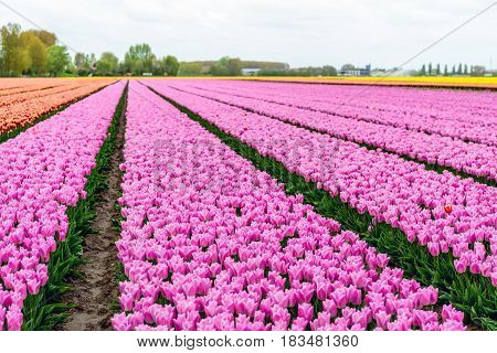 Almost endless rows of pink flowering tulip flowers in a large field at a specialized Dutch bulb nursery. It's an early morning on a day at the beginning of the spring season.