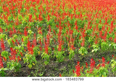 Red Salvia farm