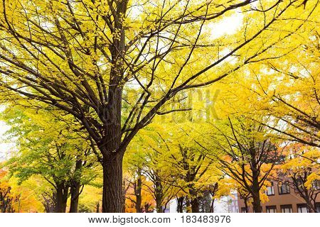 Yellow gingko tree