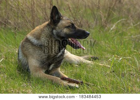 German shepherd rests lying on a green grass with a stick at his paws