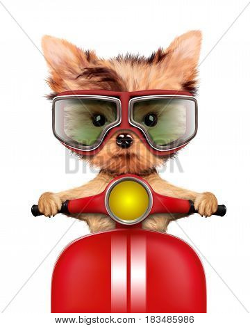 Funny adorable puppy sitting on a red motorbike and wearing aviator goggles, isolated on white. Delivery concept. Realistic 3D illustration of yorkshire terrier with clipping path