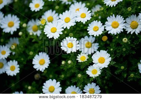 Blooming Snow daisy (Leucanthemum paludosum) also known as Northpole?chrysanthemum, shot from above with low key shadows and extremely shallow depth of field. Floral background.