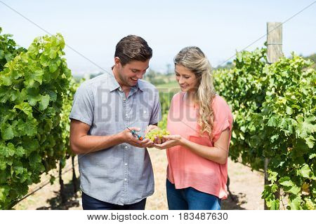 Happy couple holding grapes and pruning shears while standing at vineyard