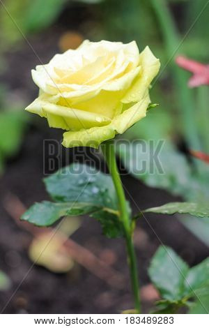 Tender yellow rose on a green background