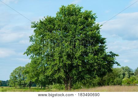 A large symmetrical tree growing on the meadow on blue sky backg