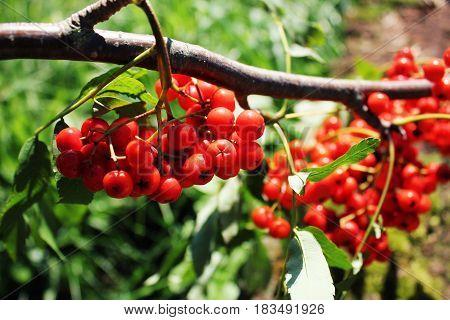 Sorbus aucuparia, rowan or mountain-ash with orange berries in summer .