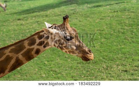 The head of a giraffe on a green grass background