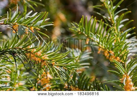 Close-up of conifer tree branches with green needles and small flowers. Spring blooming and growth