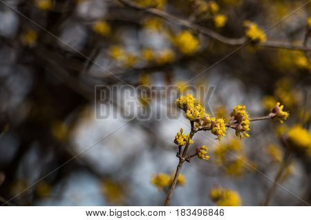 Cornelian cherry tree with yellow flowers close-up and beautiful blurred background