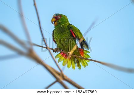 Red lored parrot (Amazona autumnalis) on the branch. Slightly motion blurred image, due to bird's movement