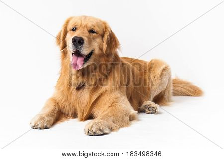 purebreed golden retriever laid down in front of a white background