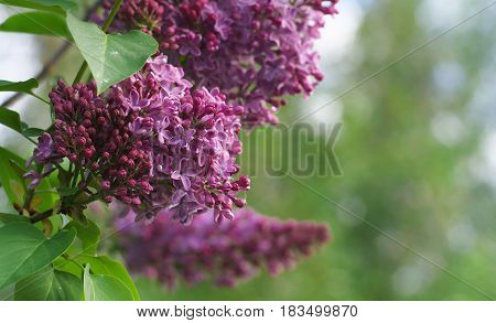 Sweet Violet Lilac Flowers On The Green Background. Sweet Lilac. Lilac Flowers. Green Branch With Sp