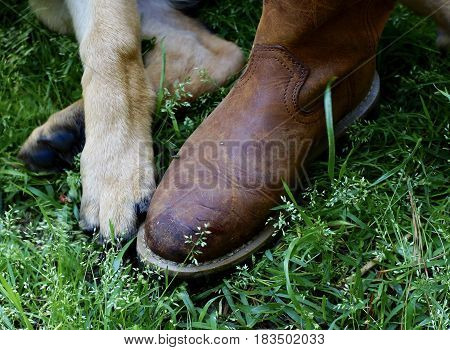 Close up of Puppy paw and work brown boot together on field of green grass