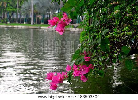 Pink flower lives in Southeast Asia, the flower bent towards the water to beautify the waves of the lake
