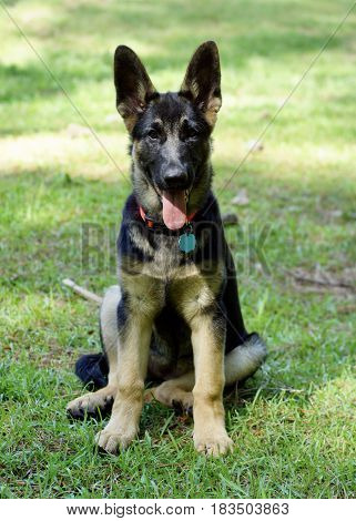 Gorgeous black and brindle German Sheppard puppy dog sitting in grass,  full straight on view with tongue hanging out