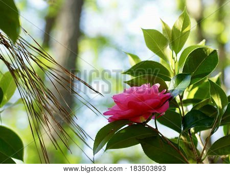 Late blooming red camellia with pine straw spray in wooded setting, horizontal