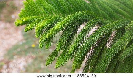 Norfolk Island Pine Araucaria heterophylla, Araucaria excelsa, branch, Morocco