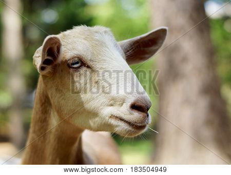 Head shot of White, tan Norwegian goat with grass in mouth, crystal blue eyes and horizontal pupils in wooded setting