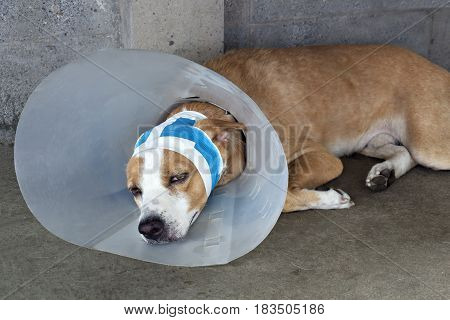 Sick dog with bandages lying and wearing a funnel collar.