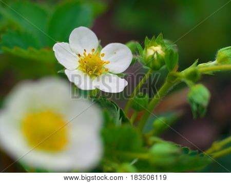 Strawberry Fresh Flower With Water Drop In Morning Dew