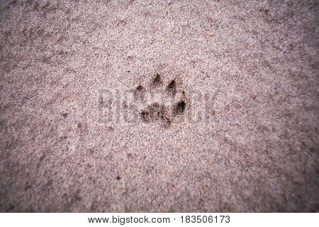 The track of an animal on the sand on the bank of the river in the early morning