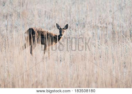 Alert Roe Deer Doe Standing Between Tall Reed.