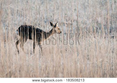 Roe deer doe walking between the reed.