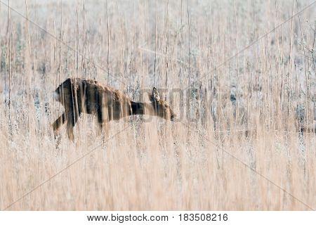 Grazing Roe Deer Doe Between Tall Reed.