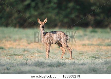 Roe Deer Doe In Field Looking Up.