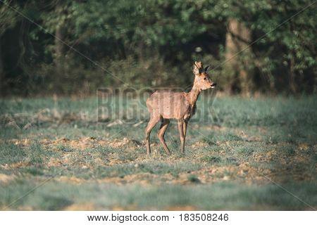 Roe Deer Buck With Bark Antlers In Meadow.