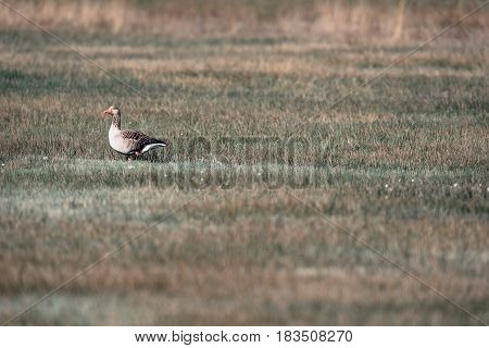 Greylag Goose Standing In Meadow. Lit By Sunlight.