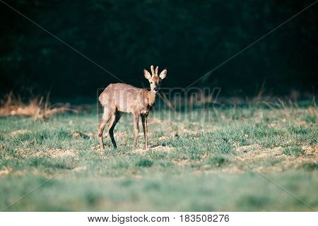 Roebuck Standing In Field In Morning Sunlight Picking Up Sound.