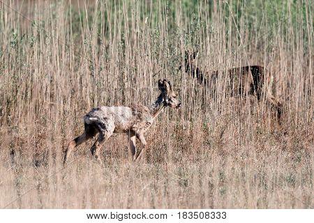 Two Roe Deer Walking In Reed Looking For Food.