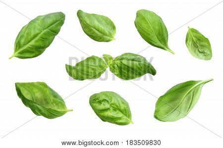 Fresh basil leaves, isolated on white background. Cut out herb, basil or spinach leaf, design elements. Group of objects, green leaves, cooking ingredients.