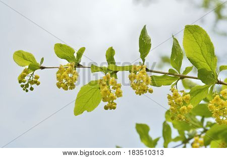 A close up of the blooming barberry (Berberis amurensis).